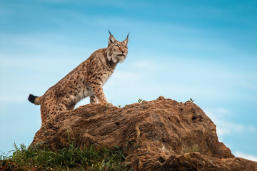 Photo on textile frame Lynx Lynx climbed on a stone and looking at the horizon