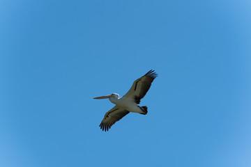 Pelikan im Gleitflug