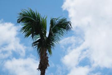 Flügel-Palme
