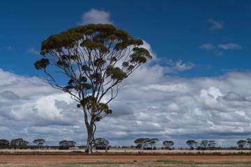 Mamut-Baum im Wolkenspiel