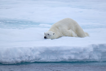 Polar Bear on ice flows, north of Svalbard, Norway