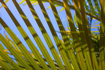 Palm tree. Green tropical plant. Mediterranean tree. Macro.
