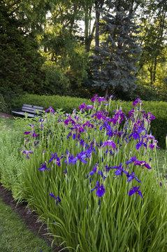 Elizabeth Park Fourteen - Beautiful Irises
