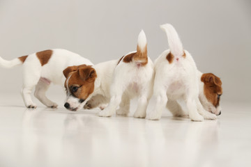 Three cool jack russells. White background