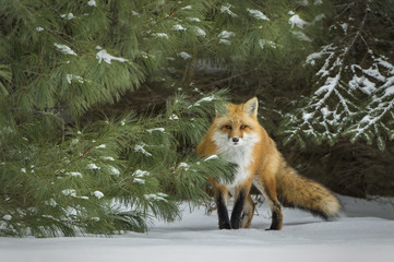 Fox in Snow Covered Pine