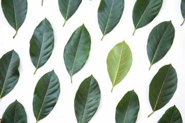 Wall Mural - Green leaves of jackfruit tree texture background and banner, creative layout made of green leaves, Green environment background spring season concept. Top view and Flat lay. Black sheep concept