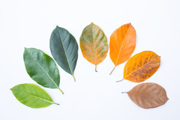 Wall Mural - Closeup leaves in different color and age of the jackfruit tree leaves. Line of colorful leaves in autumn season. For environment changed concept. Top view or flat lay background and banner.