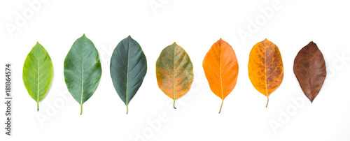 Wall mural Closeup eaves in different color and age of the jackfruit tree leaves. Line of colorful leaves in autumn season. For environment changed concept. Top view or flat lay background and banner.