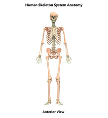 Human Skeleton System Anatomy (Anterior View)