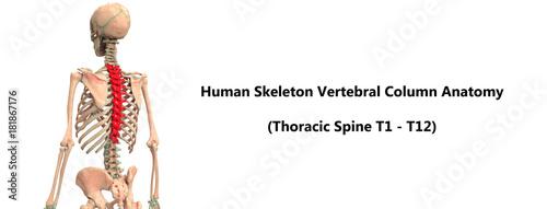 Human Skeleton Vertebral Column (Thoracic Spine) Anatomy\