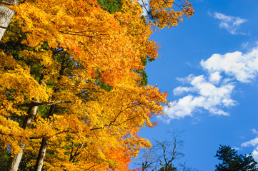 beautiful maple tree in autumn seasonal with blue sky
