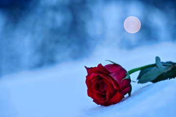 Symbol of broken heart. Red rose in snow in a memory of the loved ones.  Mount Hood. Portland. Oregon. United States.