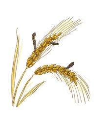 Claviceps purpurea, Ergot or ergot fung. Vector illustration.