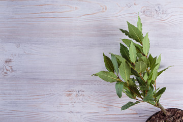 Bay trea on white wooden background