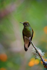Vertical photo of glittering green hummingbird, Buff-tailed Coronet, Boissonneaua flavescens, perchced on twig against blurred rainforest background with flowers,  Rio Blanco, Colombia