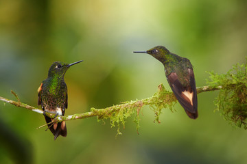 Two glittering green hummingbirds, Buff-tailed Coronet, Boissonneaua flavescens, perched on mossy twig, watching each other. Blurred rainforest background with flowers,Bellavista cloud forest, Ecuador