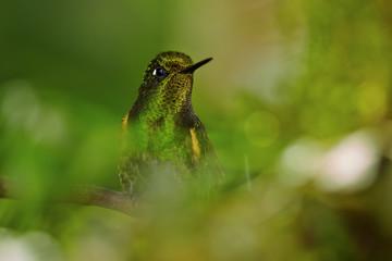 Close up portrait of green hummingbird, Buff-tailed Coronet, Boissonneaua flavescens in rainforest of Rio Blanco, Colombia.