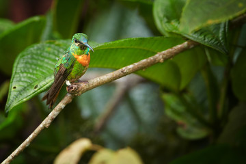Close up, rare, grass green with rufous breast band colored hummingbird, male, Gould's Jewel-front Heliodoxa aurescens perched on twig against blurred forest background. Sumaco volcano area, Ecuador.