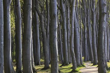 Geisterwald mit Weg, Nienhagen bei Rostock, Ostsee, Deutschland, Europa