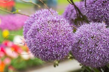 Flower head of Allium. close-up.
