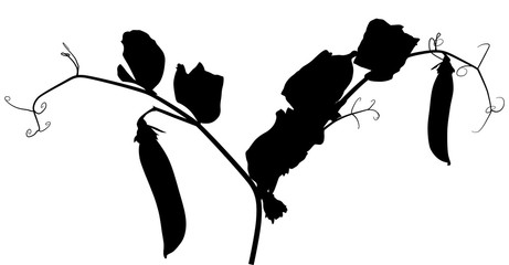 pea plant silhouette with two pods isolated on white