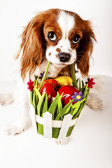 Happy easter. Easter dog concept. King charles spaniel holding easter egg basket with red and colorful eggs Cute.