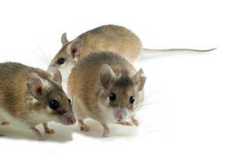 three light red spiny mouses with white bellys on a white background