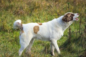 Cute barking dog not aggressive