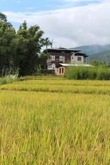 Rice field near Thimphu, Bhutan, Asia
