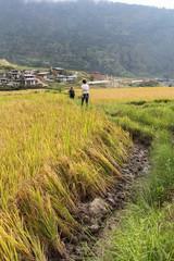 Tourists walking in a rice field near Thimphu, Bhutan