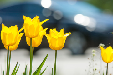 Spring landscape, tulips in a flowerbed of the city. Tulip in the background of nature. Closeup of beautiful spring flowers on a green flowerbed in a city park. Flowers with bokeh spring background.