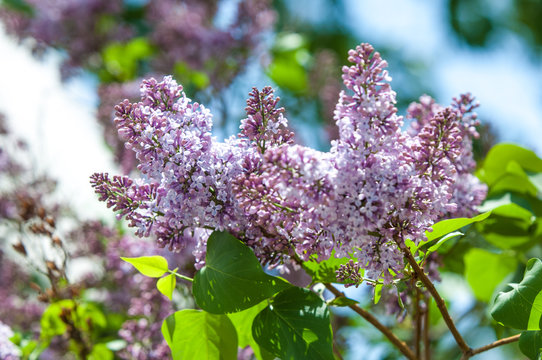 Beautiful fresh purple violet flowers. Close up of purple flowers. Spring flower, a branch of lilac. Lilac bush, lilac background. Branch with spring lilac flowers.