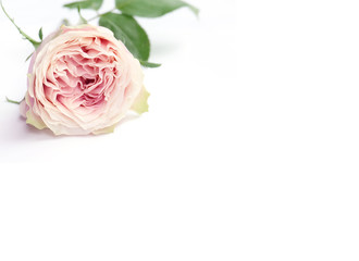 Pink rose petals isolated on white background for valentines day