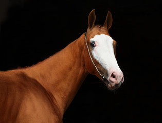 A face portrait of a grace red Quarter Horse with white stripe on the face, on black background