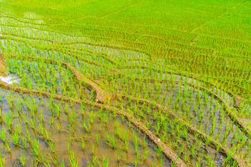 Paddy field, Ketawala