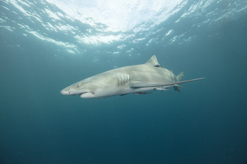 Lemon Shark (Florida)