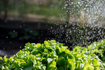 Green salad in the garden, with splashes of water, close-up.