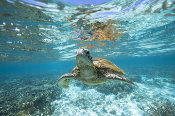 Turtle swimming underwater, Lady Elliot Island, Queensland, Australia