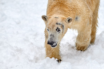 polar bear on snow (Ursus maritimus)