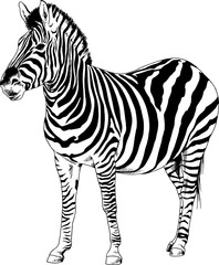 Zebra drawn with ink from hands in full growth on a white background