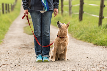 doghandler walking with obedient dog on the road (rural setting) - Australian Cattle Dog