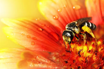 The bee  on a beautiful red-yellow flower in droplets of water. Artistic natural macro image.