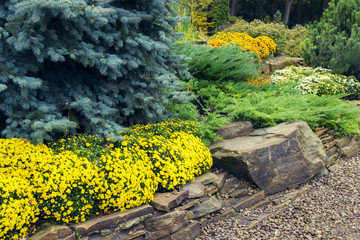 lanscape design. beautiful garden of blue spruce, bright yellow chrysanthemum and other vegetation, paths with pebbles for a walk