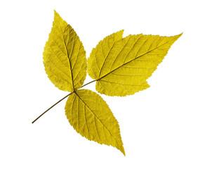 ash leaf isolated on white background