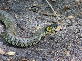 серая змея ползёт по земле в лесу