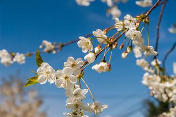 Obraz Kwiat wiśni, kwitnąca wiśnia, białe kwiaty - fototapety do salonu