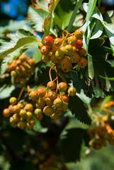 Orange rowan on tree