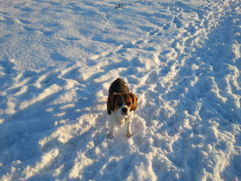 Beaglier im Schnee Westerwald in the snow