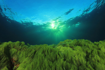 Underwater. Green algae blue ocean