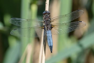 Plattbauch Libelle Nahaufnahme